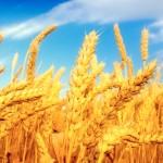 Wartości odżywcze zbóż - kasza jaglana