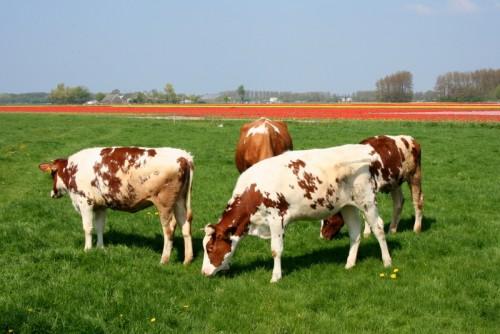Krowy, Paleo SMAK