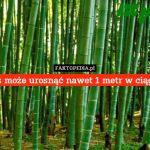 Cierpliwość bambusa