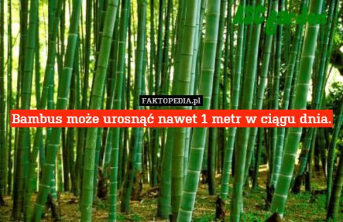 Bambus może urosnąć nawet 1 metr w ciągu dnia