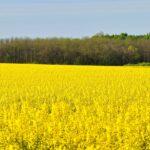 Ostateczny dowód na szkodliwość olei roślinnych